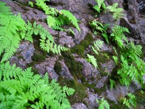 Ferns Growing from Rocks